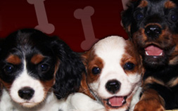 Andresens Cavaliers King Charles Cavaliers Puppies For Sale Home